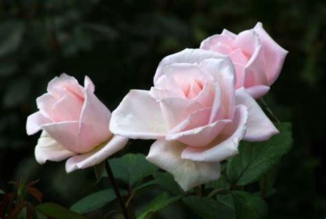 wur bloemen kwaliteitsplan roos wageningen ur