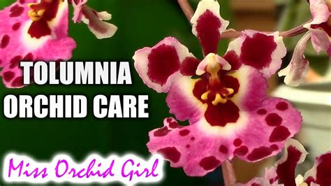 orchid care tolumnia orchids watering fertilizing reblooming orchid nature