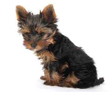 yorkie skin problems treatment 17 best images about milo my teddy yorkie on pets your