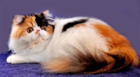 Sisir Kucing Angora by variations in color cats are dividedinto seven