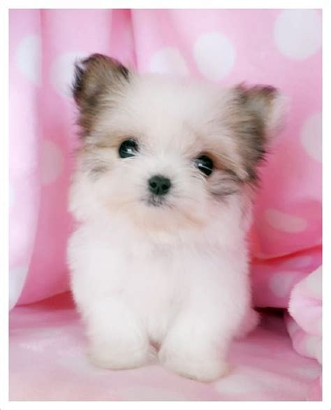 yorkie papillon mix puppies for sale 17 best images about teacup cuties on teacup maltese puppies teacup
