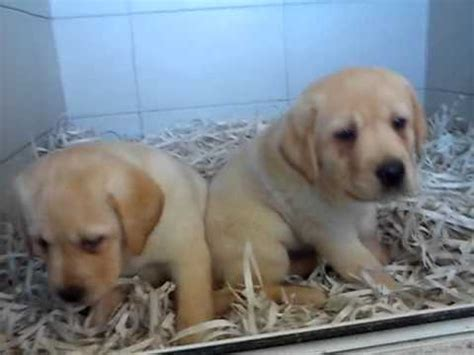 puppies for sale wa labrador puppies for sale perth wa labradors