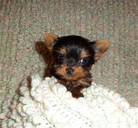 teacup yorkie columbus ohio teacup yorkies 2 boys 1 parti golden carriers tiny for sale in columbus