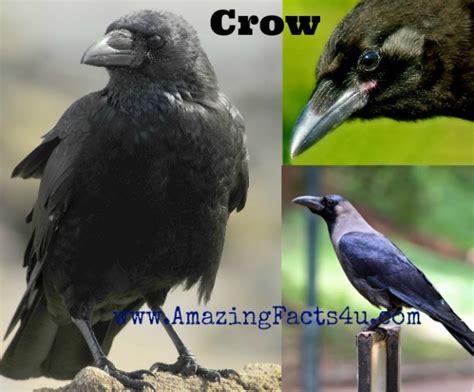 crow amazing facts 4 u