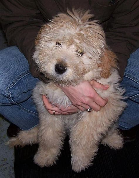 Giveaway Dogs Brisbane - lovely female goldendoodle puppy for sale brisbane dogs for sale puppies for sale