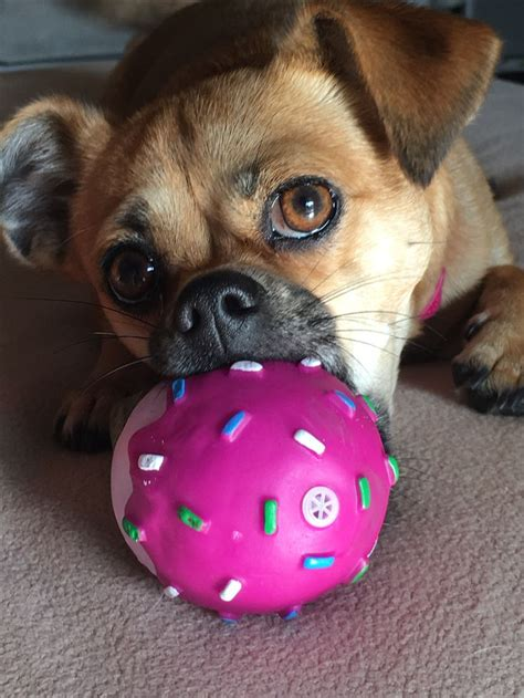 where can i adopt a pug 1000 id 233 es sur le th 232 me pug chihuahua mix sur