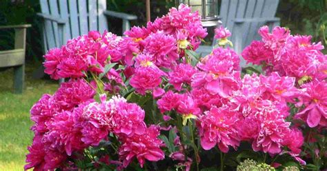 how to grow peony seeds ehow uk