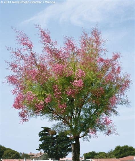 Zone Gardening - tamarix ramosissima rosea havlis cz