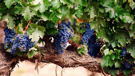 imagenes de uva malbec vid con racimos de uvas fondos hd