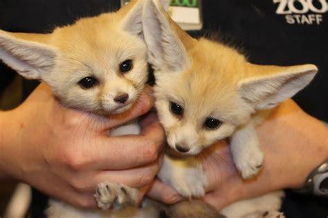 fennec foxes  cute    cute  baby fennec