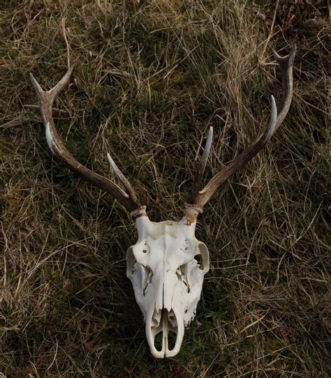 How Often Do Deer Shed Their Antlers by Bones And Antlers Assynt Field Club