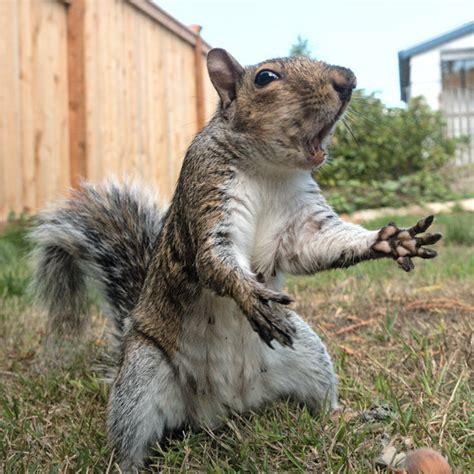 squirrel 157 dramatic squirrel by easterngraysquirrel on