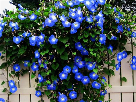Low Sunlight Plants by Deep Blue Morning Glory Ipomoea Purpurea 20 Seeds