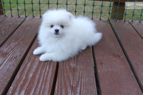 pomeranian for sale in portland oregon pomeranian puppy for sale near portland oregon 3b946b5f af41
