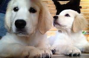 golden retriever breeders alaska golden retriever puppies alaska hues of gold goldens
