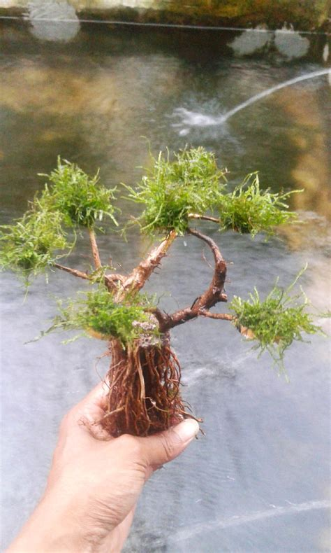 jual akar pohon bonsai senggani tanaman air aquascape