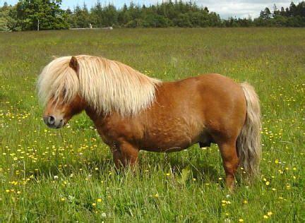 Miniatur Kuda Poni By Nicebags kellas peerie plover shetland stallion world of horses
