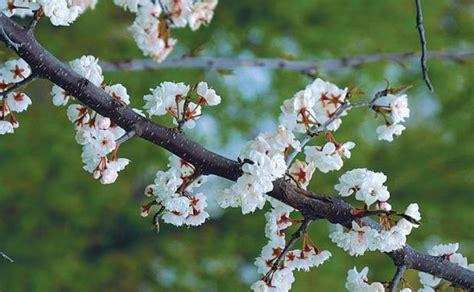 a parade of spring flowering trees fine gardening