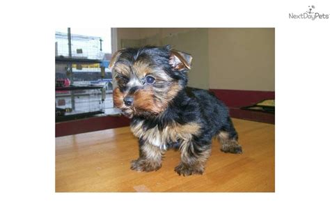 teacup yorkie allergies meet puppy a terrier yorkie puppy for sale for 550 chicago yorshire