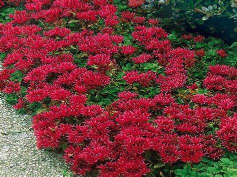 Sun Faucet succulent ground cover plants red sedum ground cover
