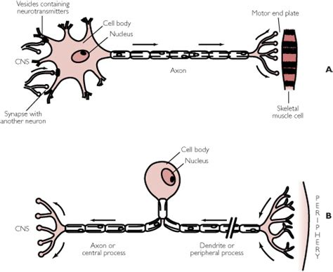 motor neuron definition neuron definition from answers