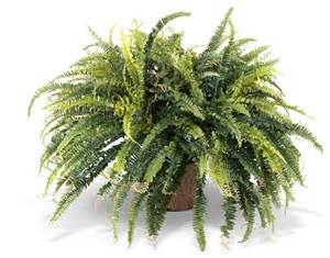 potted ferns plants www imgkid com the image kid has it