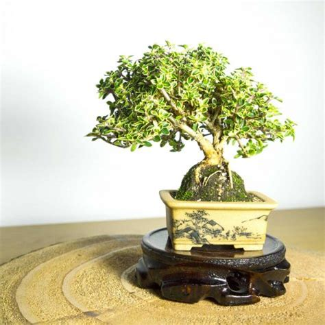Bonsai Serisa 10759 Limited bonsai tree mame shohin japanese black pine 73