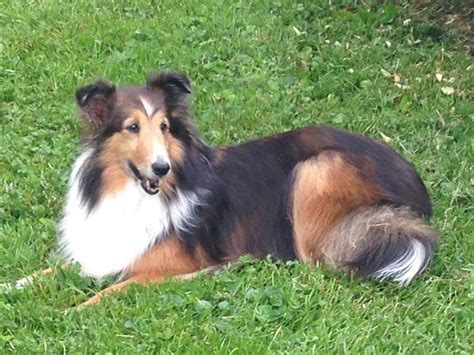 free puppies bristol tn lost missing shetland sheepdog sheltie johnson city tn usa 37601 on may 26