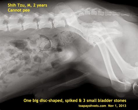 bladder stones surgery cost veterinary medicine surgery singapore toa payoh vets dogs cats rabbits guinea