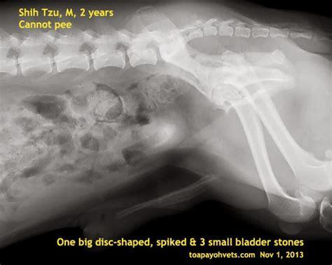shih tzu bladder stones 0829asingapore veterinary hyperoestrogenism