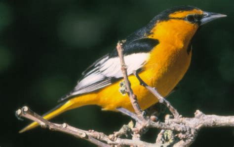 bullock s oriole the texas breeding bird atlas