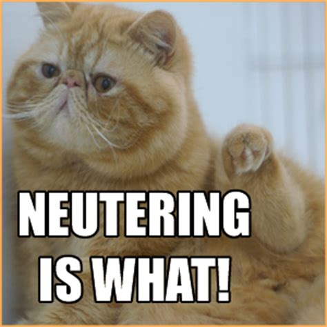 when should i spay my when should i spay or neuter my kitten uk cat breeders