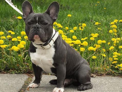 bulldog francese alimentazione cosa deve mangiare il bulldog francese petformance