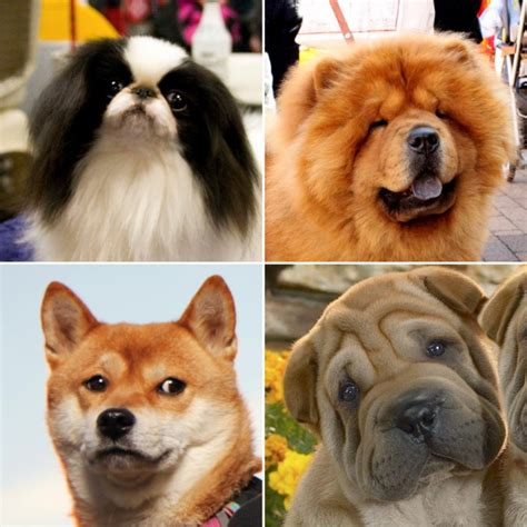 asian dogs 10 asian breeds that are beyond kore asian media