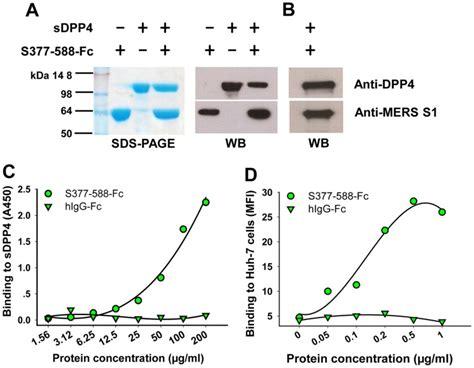 sepharose immunoprecipitation detection of s377 588 fc binding to dpp4