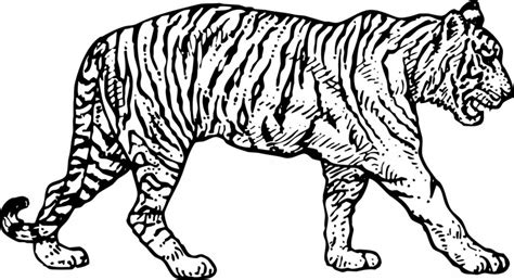 indian tiger coloring page dibujos de tigres para colorear y pintar
