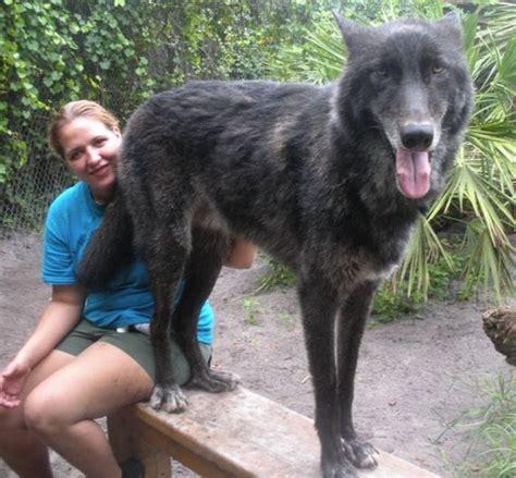 pet wolf pet wolf yuki barnorama