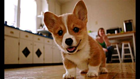 buy corgi puppy baby corgi puppies who are to be real