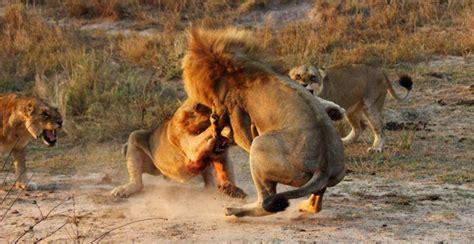 peleas de leones a muerte peleas entre leones algunas de las im 225 genes m 225 s salvajes