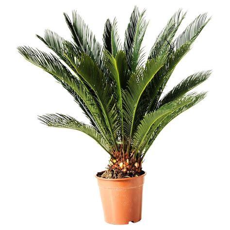 pianta vaso piante da vaso vasi e fioriere piante da vaso giardino