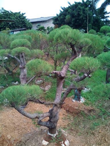 jual murah pohon bonsai cemara udang tukang taman