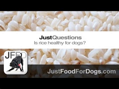 is rice bad for dogs new insights on the impact of feeding to dogs funnydog tv
