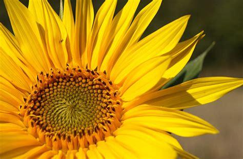 fiore amarillo amarillo significado espiritual en clinicaunr org