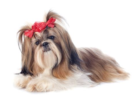 shih tzu dog breed info stats   petcarecomau