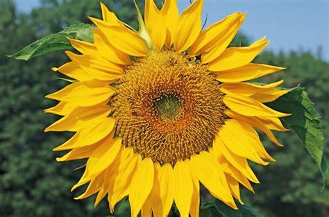 Grey Sunflower gray striped sunflower seeds for birds