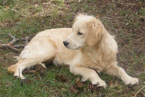 golden retriever grown best 25 golden cocker retriever ideas on cocker spaniel mix golden