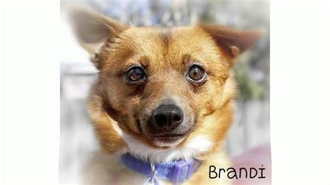 pomeranian rescue australia brandi pomeranian x tenterfield terrier available for adoption from rescue