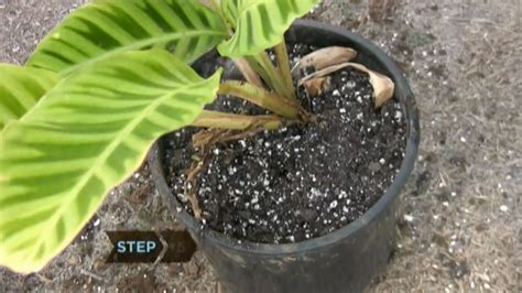 how to revive a plant how to revive a dying plant youtube