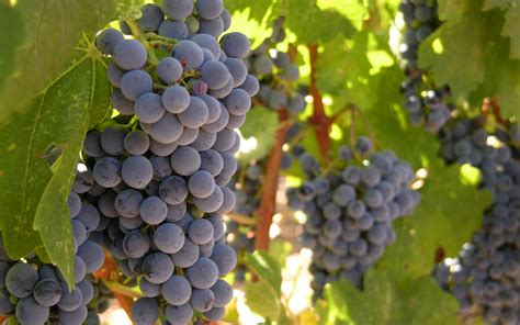 21st century pioneer 3 common mistakes to avoid when growing grapes