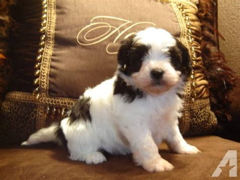 shih tzu puppy price price reduced shih tzu puppy for sale in andover minnesota classified